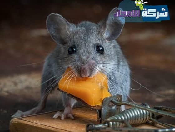 شركات مكافحة الفئران بالخبر